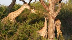 Family love <3 #giraffe #giraffes #southafrica #madikwe #safari #wildlife #gamedrive #südafrika #afrika #family #love #animals #krugerpark #tiere