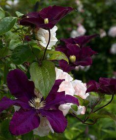 Har du fx et kedeligt Clematis, Outdoor Life, Outdoor Gardens, Flower Garden Design, Garden Bar, Gardening For Beginners, Garden Plants, Perennials, Grass