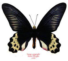 Atrophaneura priapus priapus (Java)