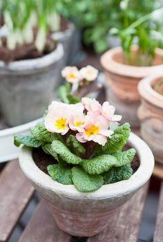 primroses in terra cotta pots Terra Cotta, Grandmas Garden, Primroses, My Secret Garden, Clay Pots, Spring Garden, Spring Flowers, Spring Blooms, Garden Projects