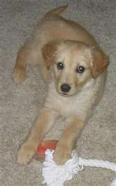 Spanial Retriever mix. HOW CUTE! This is what I want for Christmas!