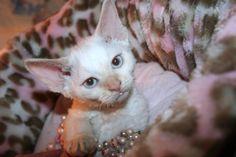 Devon Rex kitten flame point