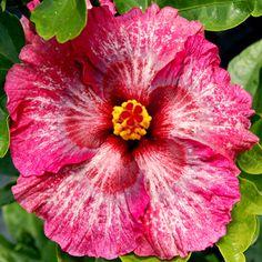 Tropical Hibiscus Glitz n Glitter