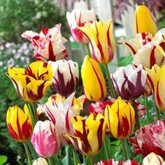 Mixed Rembrandt Type Tulips