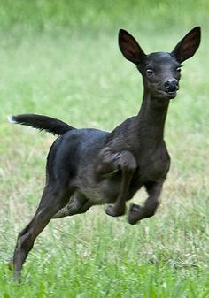 A rare Black While-tailed Deer fawn. No spots, but it does have a trademark white flag on the underside of its tail. Unusual Animals, Rare Animals, Cute Baby Animals, Animals Beautiful, Animals And Pets, Wild Life, Reptiles, Mammals, Melanistic Animals
