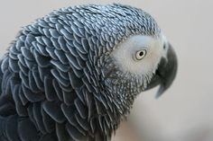 African gray parrot, perhaps, the most intelligent bird on earth. Sadly, Endangered.