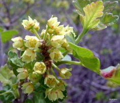 Rhus aromatica: Fragrant Sumac (inconspicuous flowers)