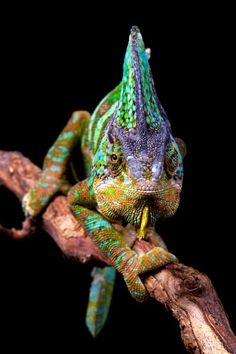 This is just amazing. Chameleon by Mark Bridger Veiled Chameleon, Chameleon Lizard, Les Reptiles, Reptiles And Amphibians, Beautiful Creatures, Animals Beautiful, Cute Animals, Iguana Pet, Colorful Snakes