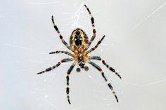 Barn spider, Araneus cavaticus
