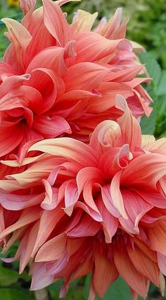 ~~Peony Dahlia by eye of einstein~~ my two fave flowers Amazing Flowers, My Flower, Beautiful Flowers, Flower Petals, Peony Flower, Pink Petals, Beautiful Gardens, Garden Plants, Mother Nature