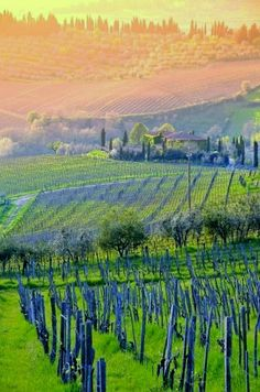Vineyards at sunset Montepulciano, Tuscany, Italy, province of Siena - Fantastico! Love the wines from this area.