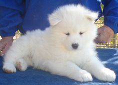 "samoyed puppy. Just like in the movie ""the proposal"""