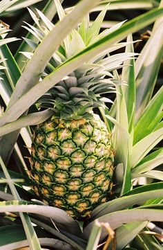 The pineapple (one of many fruits Rainforest Alliance certifies) is a type of bromeliad, a family of tropical plants whose stiff, overlapping leaves hold rainfall like buckets.