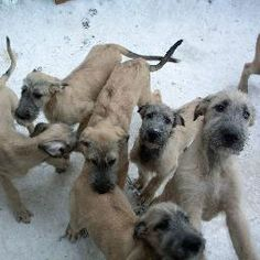 irish wolfhoud puppies. i think i'll get one of these and call him Gary :-)
