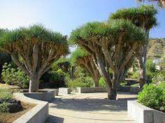 """""""Dargon trees"""": fotografía de Jardin Canario, Las Palmas de Gran Canaria"""