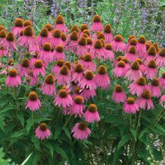 Walters Gardens Variety: Echinacea 'Red Knee High'