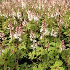 Tiarella 'Spring Symphony' PBR Woodland Garden, Garden Plants, Planting, Coral, Spring, Flowers, Plants, Royal Icing Flowers, Flower