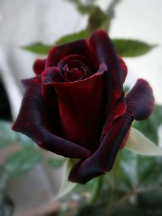 Black Baccara rose . Beautiful gorgeous pretty flowers