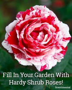Glorious Enjoy Life With Your Own Flower Garden Beautiful Easy Ideas. Enjoy Life With Your Own Flower Garden Beautiful Easy Ideas. Comment Planter Des Roses, Beautiful Roses, Beautiful Flowers, Planting Roses, Garden Roses, Flower Gardening, Organic Gardening, Gardening Tips, Vegetable Gardening