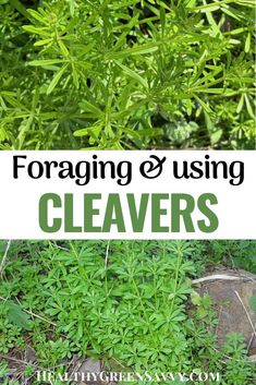 Cleavers is a useful medicinal plant worth getting to know, a cooling herb used for moving lymph and more. Find out about cleavers identification, herbal uses, and the benefits of cleavers. #cleavers #herbalism #medicinalplants Herb Gardening, Organic Gardening, Sweet Woodruff, Green Living Tips, Plant Identification, Energy Conservation, Natural Lifestyle, Natural Cleaners, Eating Organic
