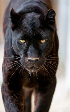 What Do Panthers Eat? A black panther is not a species in its own right; the name black panther is an umbrella term that refers to any big cat with a black coat. Nature Animals, Animals And Pets, Cute Animals, Wild Animals, Large Animals, Baby Animals, Strange Animals, Beautiful Cats, Animals Beautiful