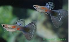 (5) Blue Pastel Guppy Fry Guppies Livebearer Live Fish Free S&H!