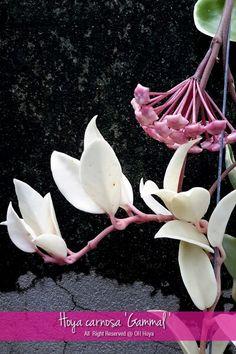 Hoya carnosa 'Gammal'