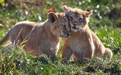 Two lion cubs play during their first public appearance at the Columbus Zoo in Columbus, Ohio