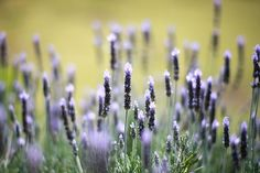lavender by ditao