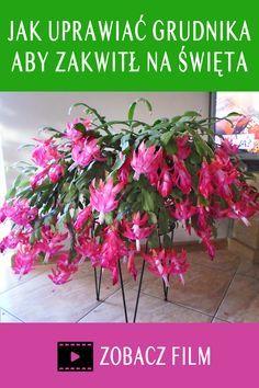 Jak Uprawiac Grudnika Kaktusa Bozonarodzeniowego Zygokaktusa Szlumbergere Aby Kwitl Czesto Dlugo I Obficie Grudnik Jest Roslina Dlugo In 2021 Plants Flora Garden