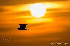 Heron at sunset - Heron at sunset
