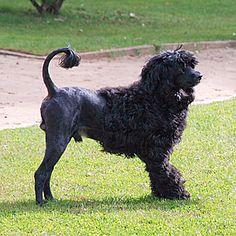 Corte do pêlo do cão de água português
