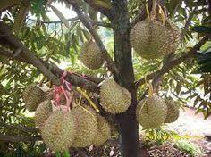 Hasil gambar untuk gambar pohon buah