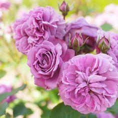 Floribunda Rose: Rosa 'Magenta' (Germany, 1954)