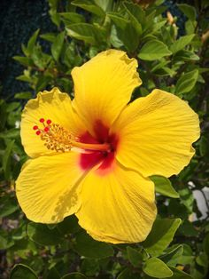 Canna Flower, Hibiscus Flowers, Flowers Nature, Exotic Flowers, Tropical Flowers, Wonderful Flowers, Yellow Flowers, Beautiful Flowers, Flower Images