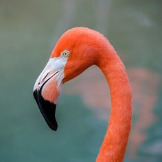 Why are flamingos red? From food! The reddish color of flamingos comes from carotenoid proteins in their diet of animal and plant plankton. These proteins are broken down into pigments by liver enzymes.