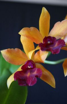 Orchid Laeliocattleya Tropical Pointer x Laeliocattleya Gold Digger