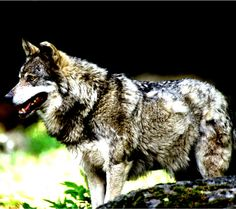 Predator Wolf  - Tap to see more about wolf wallpaper! @mobile9