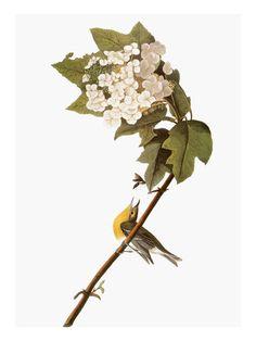 Warbler, 1827-38, by John James Audubom (1785-1851)