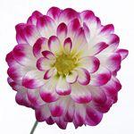 Dahlia Flower Bicolor White and Purple