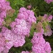 Achillea 'Pink Lady' Click image to learn more, add to your lists and get care advice reminders each month. Other names: Yarrow 'Pink Lady' Genus: Achillea Variety or cultivar: 'Pink Lady' _ 'Pink Lady' is a compact, upright, deciduous to semi-evergreen perennial with finely-divided, dark grey-green leaves and, in summer and early autumn, erect stems bearing dense, flattened clusters of rose-pink flowers, fading to pale pink with age.