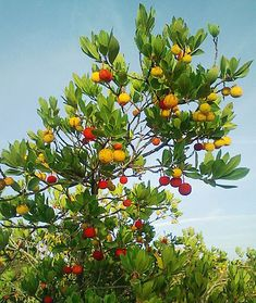 Strawberry tree (Arbutus unedo). Another pretty one-- bee/hummingbird magnet and apparently the fruits make decent jam.