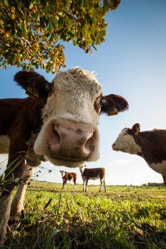 Cow, happy cow и animals beautiful. Cute Baby Cow, Baby Cows, Cute Cows, Baby Elephants, Fluffy Cows, Fluffy Animals, Cute Little Animals, Cute Funny Animals, Cute Animal Photos