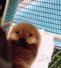 Baby Otter gifs (click thru!)