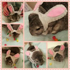 Our chinchilla, Hocus Pocus, dressed as the Easter Bunny, he liked his ears :) #cutechinchilla