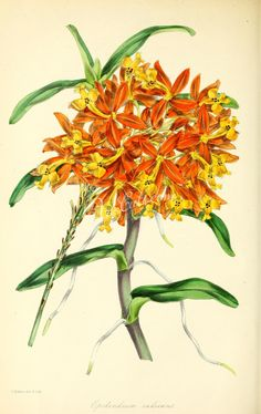 florida_orchids-00109 Rooting Epidendrum, epidendrum radicans ArtsCult.com Artscult ArtsCult vintage printable public domain 300 dpi commercial use 1800s 1700s 1900s Victorian Edwardian art clipart royalty free digital download picture collection pack paintings scan high qulity illustration old books pages supplies collage wall decoration ornaments Graphic engravings lithographs century 18th 17th Pictorial fabric transfer scrapbookin
