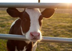 My friend's baby cow, Sophie :) Isn't she beautiful!!---->Sarah Kappes Photography