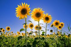 sunflowers: is there really anyone that doesn't like sunflowers?