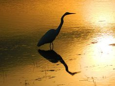 """nancy-spirakus.fineartamerica.com White Egret Reflection Poster, Acrylic Print or Wrapped Canvas. Recently featured in """"All Things Reflective"""" group on Fine Art America, photo stood out from over 10, 435 images in the group. Gift idea."""