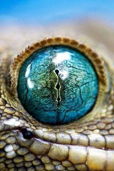 Gecko... Incredibly gorgeous eye colour